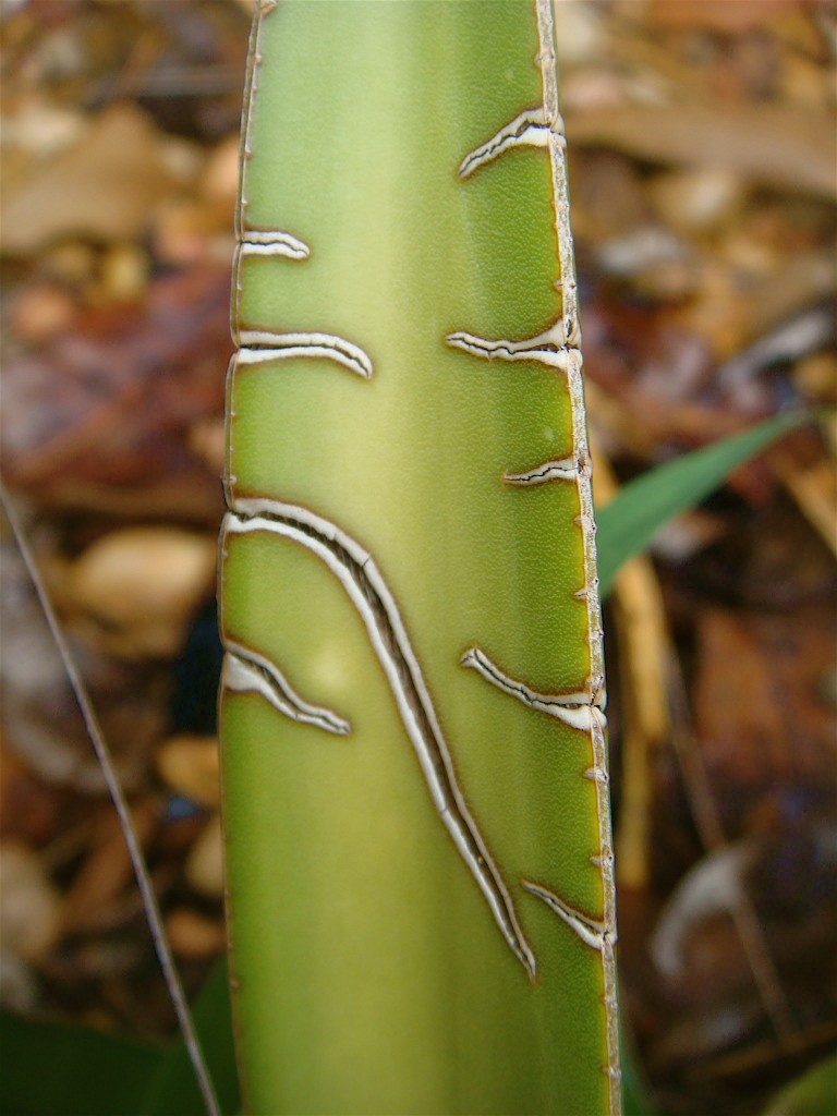 Tribal Markings on Aloe