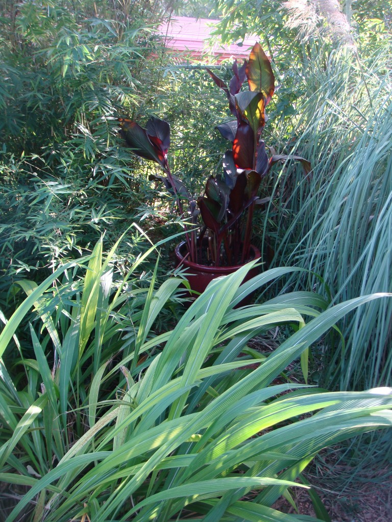 Canna and Pampas