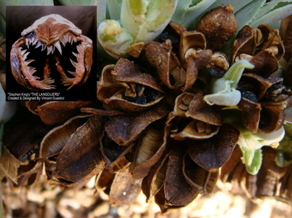 Agave seeds_langoliers