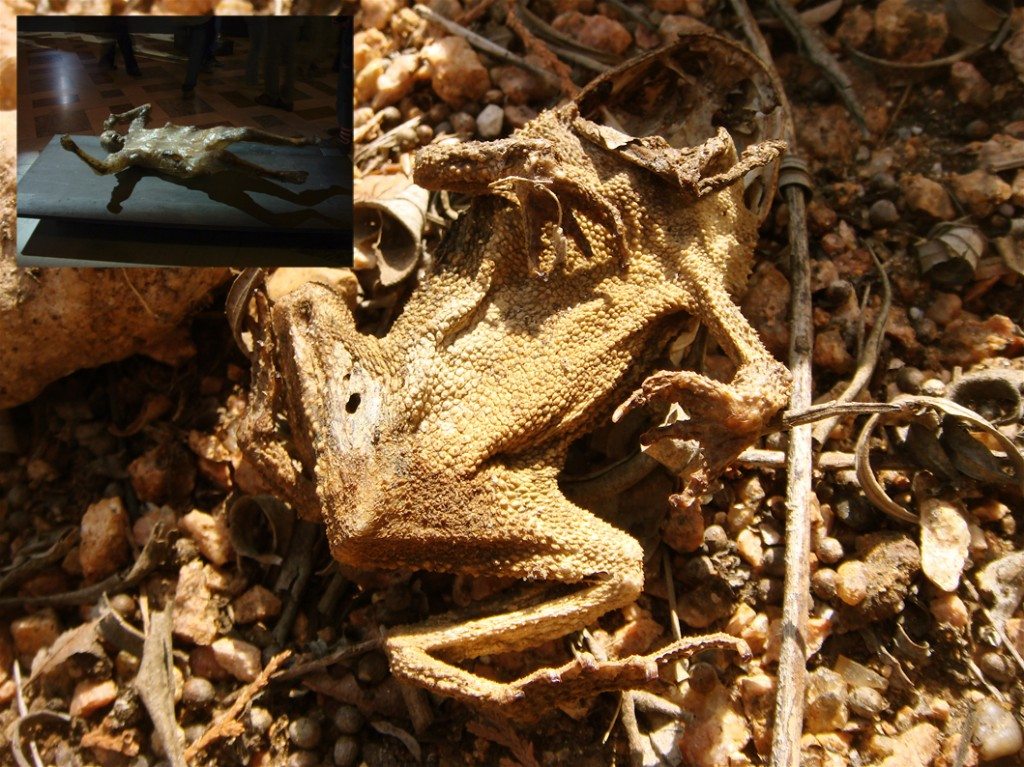 Dried_Toad