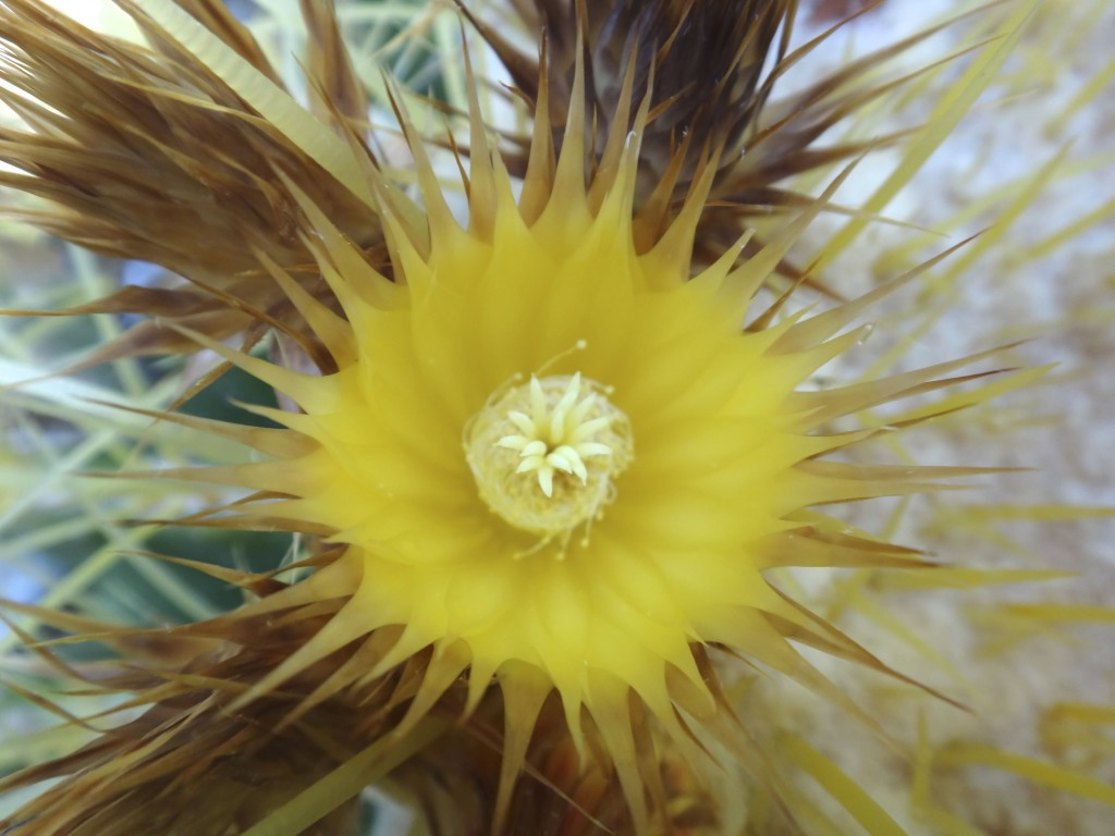 Barrel_cactus_flower