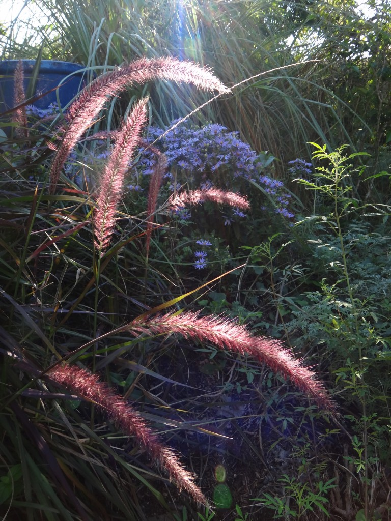 ornamental_grasses