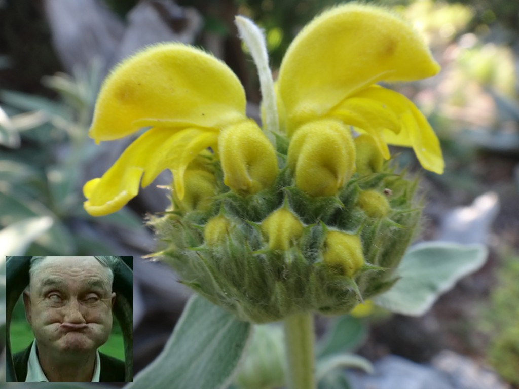 Jerusalem-sage-bloom